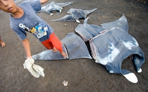 Manta rays are lined up at a fishing market in Indonesia.